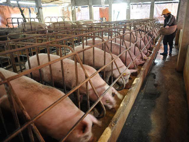 Thịt lợn rẻ nhất 10 năm: 1 kg thịt không bằng 1 cân khoai - ảnh 1