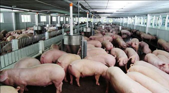 Chất tạo nạc mới chính thức bị cấm trong nuôi lợn