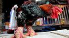 'Vua gà' đẹp bậc nhất xứ Đông Tảo