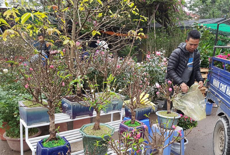 Chán đào khủng, dân Hà Nội tìm mua đào 2 gang tay