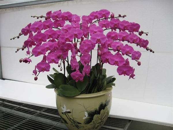 các loài hoa trưng bày dịp Tết, các loài hoa may mắn trong dịp Tết