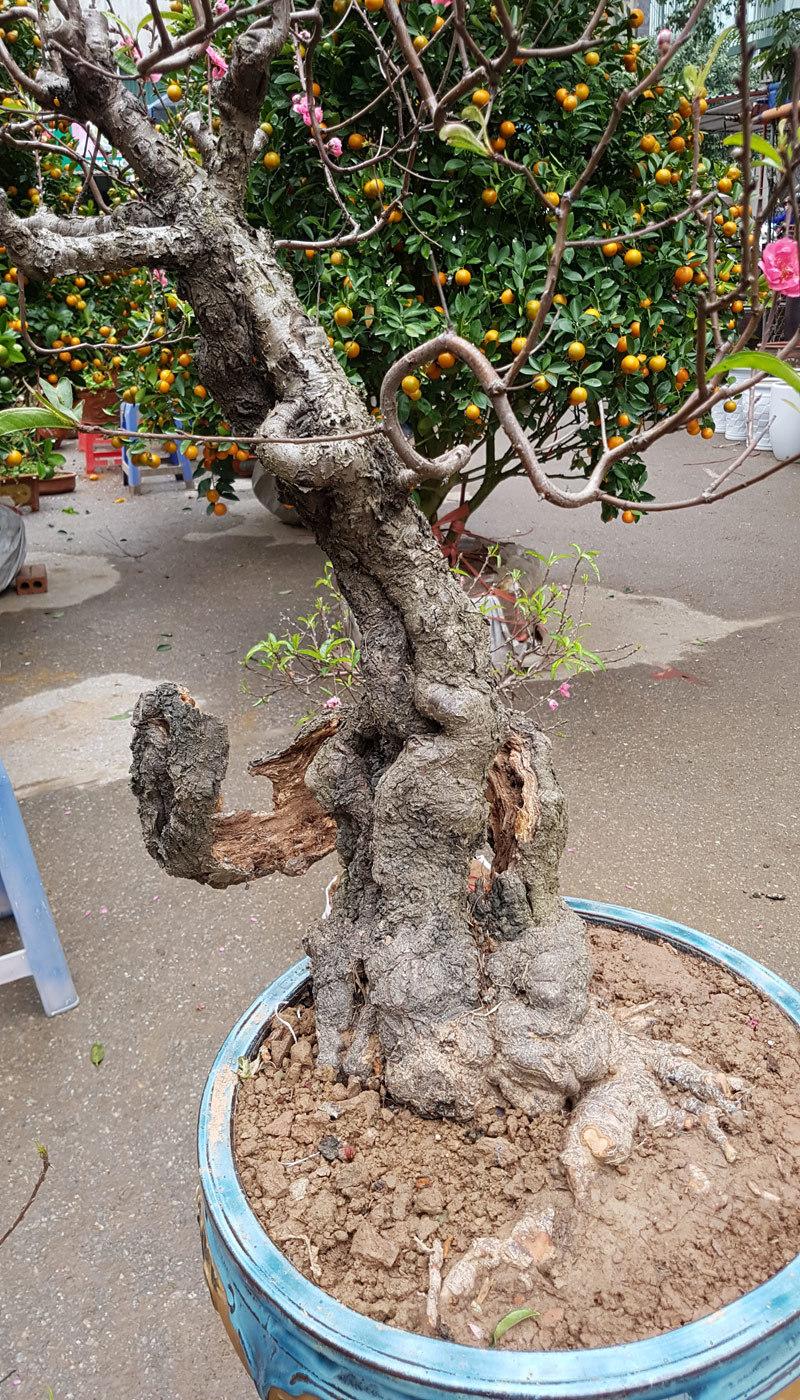 Cây đào 'dị' nhất chợ hoa Vạn Phúc - Hà Nội