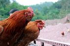 Độc đáo vua gà có râu, có mũ ở đất Quảng Ninh