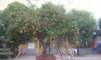 Cây quýt rừng cổ trăm tuổi, giá hơn 400 triệu đồng