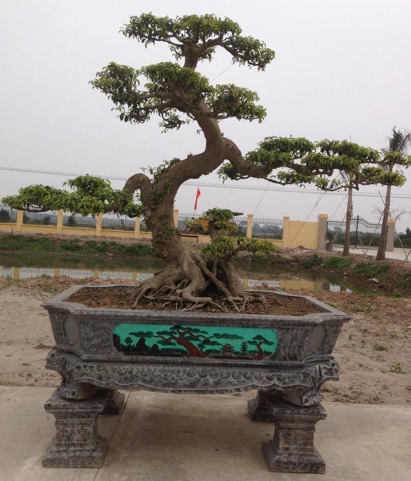 Hai cây sanh cổ được 'ngã giá' bằng cả con đường