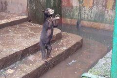 Thảm cảnh gấu chó chết đói, cầu xin thức ăn từ du khách