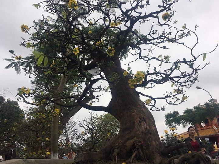 cây mai, mai Tết, cây mai trăm tuổi giá 1 tỷ ở Huế, cây mai 1 tỷ ở Huế, mai cổ thụ ở Huế