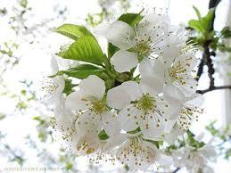 Tình chị, duyên em, tình yêu, hạnh phúc, lá diêu bông