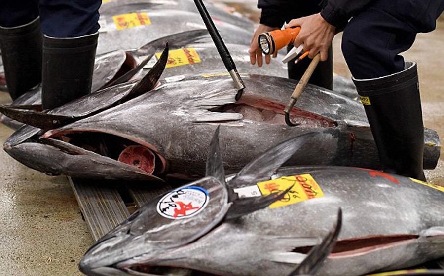 Đại gia chi 14 tỷ mua 'vua cá ngừ' ăn tươi sống