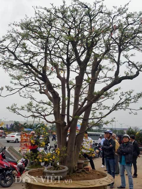 Mê mẩn 'lão mai' hơn trăm tuổi được hét giá 3 tỷ ở Đà Nẵng