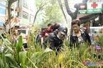 Dân phố trồng ngô, lúa giữa nhà làm cây cảnh chơi Tết