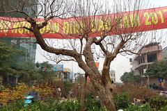 Cây đào dáng độc nhất vô nhị ở Hà Nội