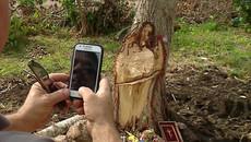 Kỳ lạ thân cây mang hình Chúa Jesus