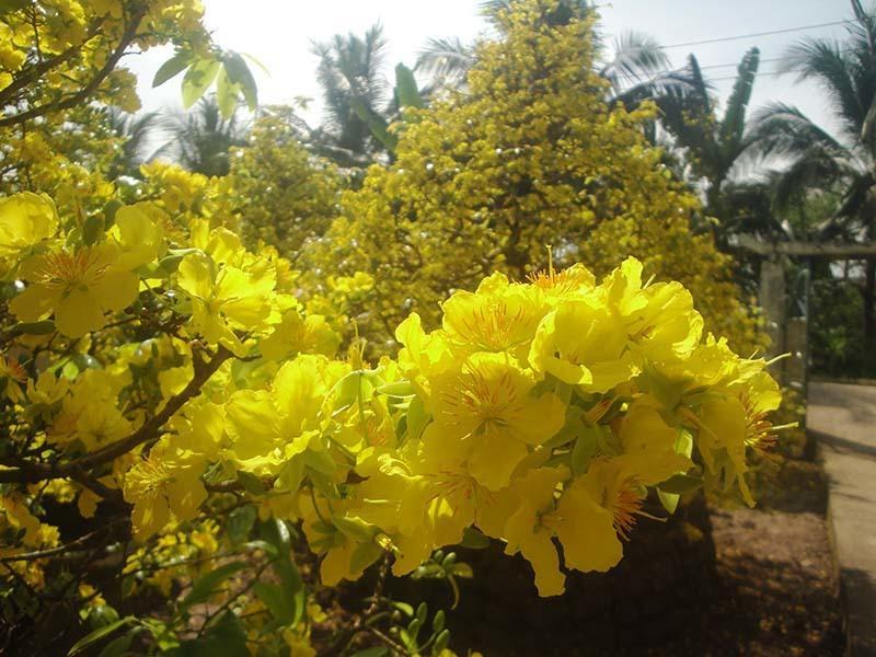 Cây hoa mai, làng mai Phước Định