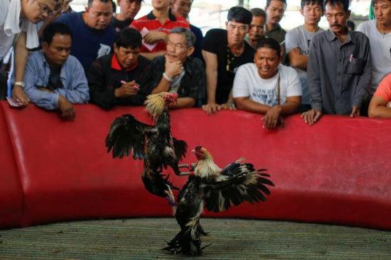 Chú gà chọi hay nhất được mua với giá 1,6 tỷ đồng