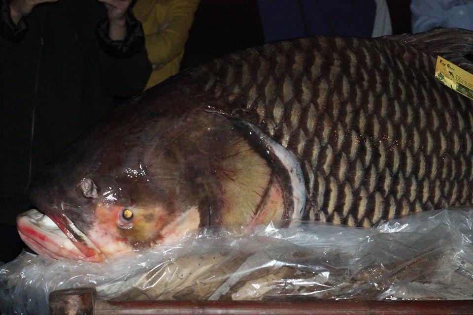 Hà Nội: Xẻ thịt cá hô đỏ Campuchia, thu hàng trăm triệu