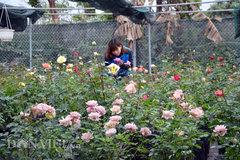 Vườn hồng cổ giá trăm triệu một cây của nữ chủ nhân 9X