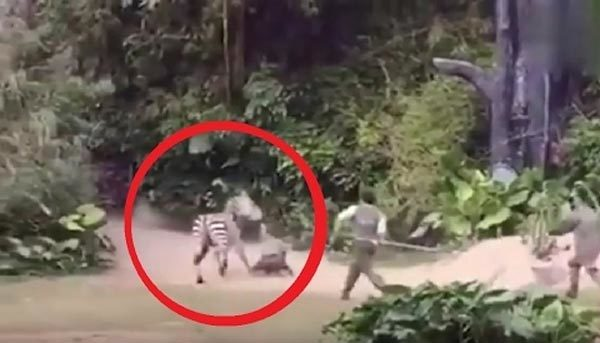 [VietnamNet.vn] Ngựa vằn nổi điên, tấn công người nuôi giữ