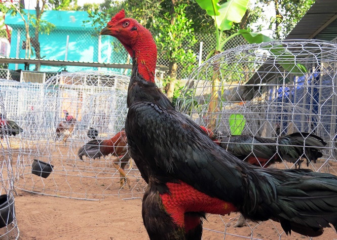gà chọi, gà chọi chợ lách, vương quốc gà chọi, cách chăm sóc gà chọi, buôn bán gà gọi, thị trường gà chọi, thú chơi gà chọi