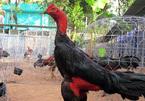 Khám phá 'vương quốc' gà chọi vùng châu thổ sông Cửu Long