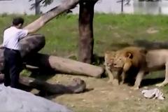 Định 'thôi miên' sư tử, người đàn ông say suýt bỏ mạng
