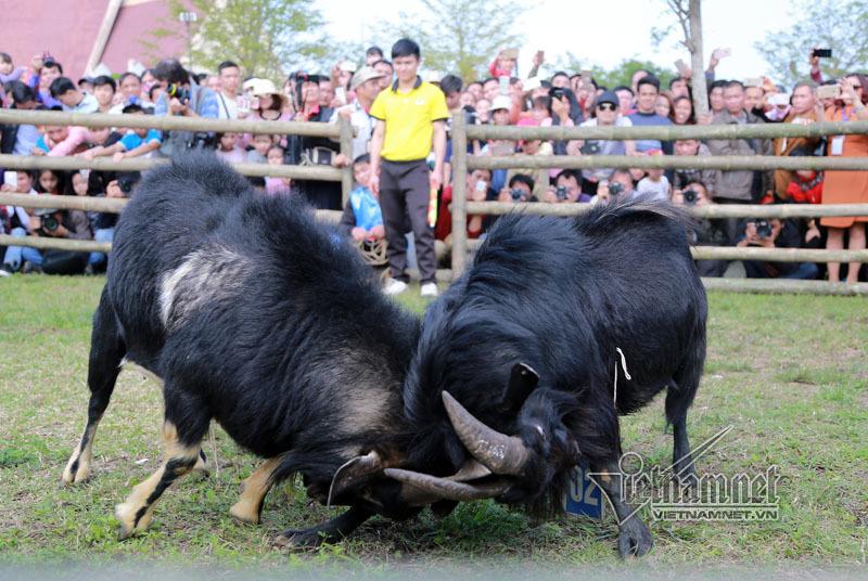 Độc đáo hội chọi dê, thắng thua không vào lò mổ ở Hà Nội