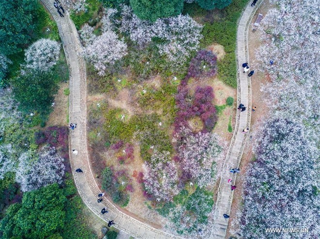 Rừng hoa mận trắng nở rộ ở Hàng Châu