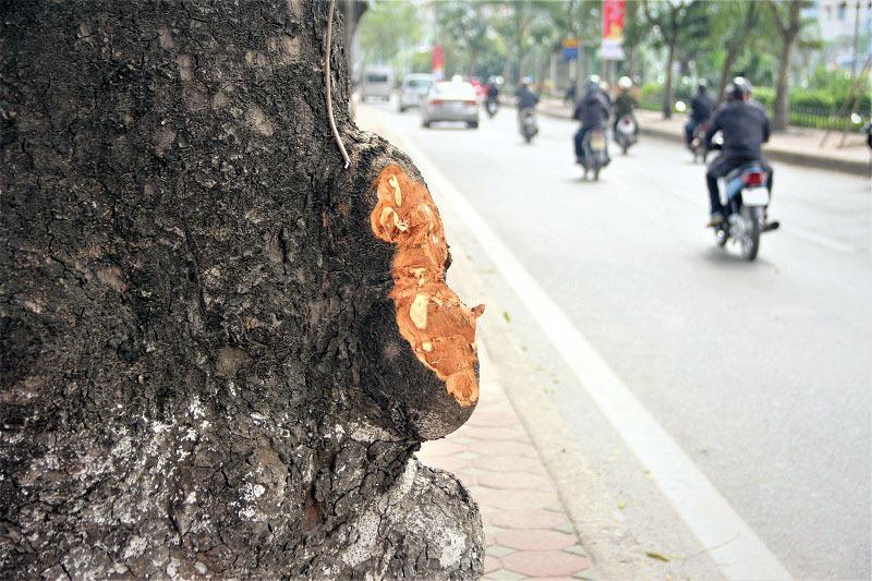 Hà Nội: Loạt cây xà cừ bị đục khoét trên đường Láng