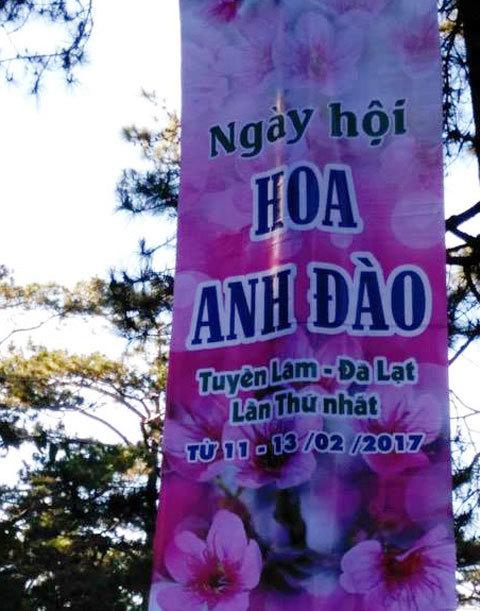 Đà Lạt hủy lễ hội hoa anh đào vì hoa chưa nở
