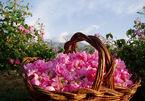 Lễ hội hoa hồng lớn nhất tại Hà Nội