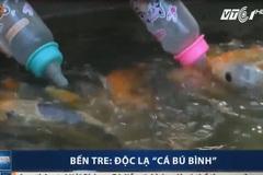 Tròn mắt xem cá bú bình như em bé ở Bến Tre