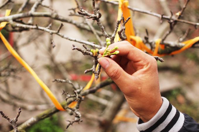 'Lê rừng cả tháng mới tàn' được săn lùng chơi Rằm tháng Giêng