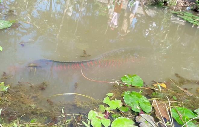 Cá hải tượng 100 kg nổi dưới kênh ở Tiền Giang