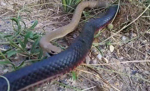 Cận cảnh cặp rắn đại chiến, ăn tươi nuốt sống đối thủ