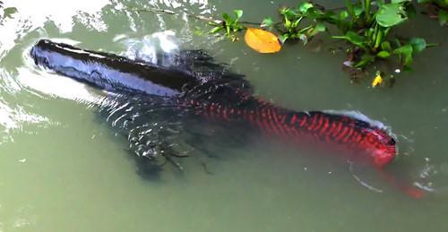 Đại gia Việt bắt cả 'quái vật' sông Amazon về chơi