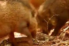 Nuốt chửng lợn con, trăn 'khổng lồ' bị bầy lợn rừng xé xác