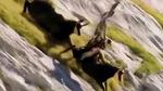Đại bàng bị quăng quật trên vách núi vì săn dê quá lớn