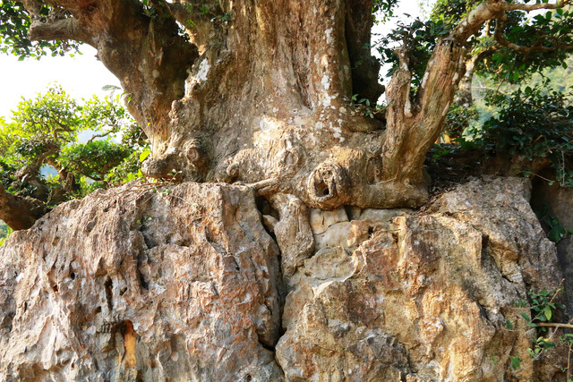 """Độc lạ cây duối nghìn năm có dáng """"bàn tay phật"""" ở Ninh Bình"""