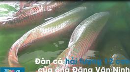 Đàn cá hải tượng 12 con nặng hơn một tấn rưỡi ở Tây Ninh