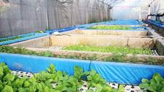 Vườn rau hữu cơ 5 tỷ của đại gia Sài Gòn