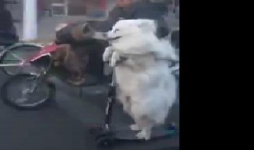 Chú chó lái xe điệu nghệ trên đường phố