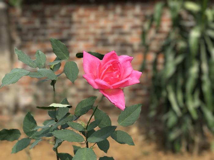 Vườn hoa hồng 20.000 gốc, rộng 4ha của nữ luật sư Hà Nội