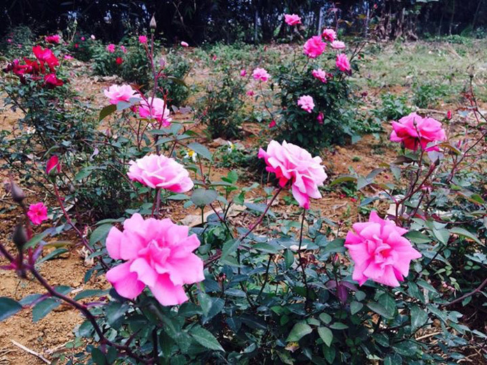 vườn hồng, vườn hồng bản địa, vườn hồng Hà Nội, trồng hoa hồng
