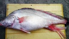 Người dân Sài Gòn câu được cá sủ vàng quý hiếm
