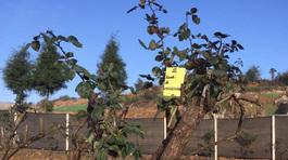 Cây hồng cổ đẹp nhất Sapa giá 100 triệu bị mất trộm