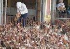 Ăn 80 ngàn tấn gà Trung Quốc thải loại: Ám ảnh dịch bệnh