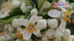 Clip: Hoa bưởi sớm nồng nàn 'ướp hương' phố phường Hà Nội