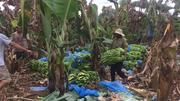 Giải cứu nông dân dính đòn thương lái Trung Quốc