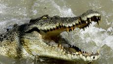 Sập bẫy thòng lọng, cá sấu cùng quẫn tàn sát chó nhà