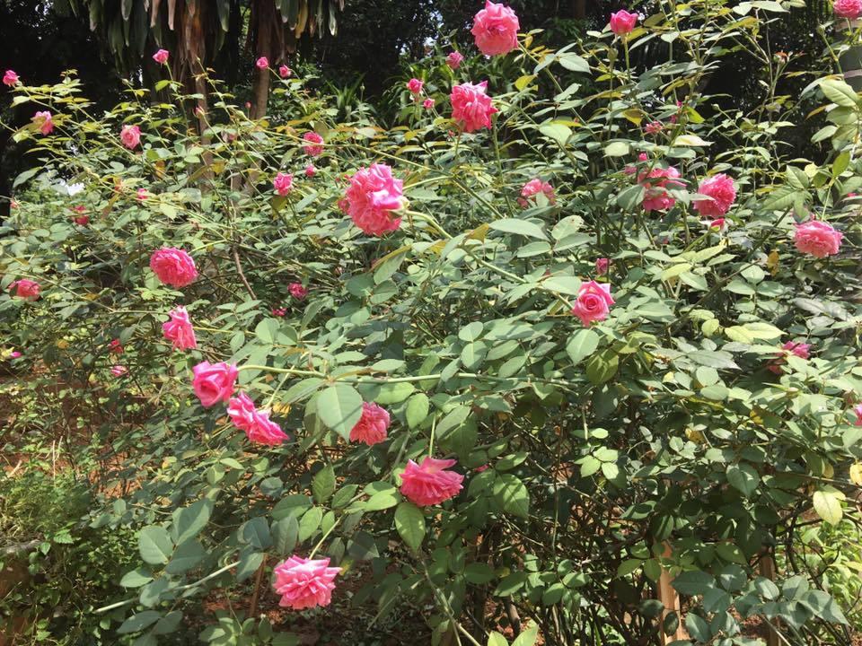 Hai năm thức xuyên đêm, cô gái Hà thành nuôi 2 vạn gốc hoa hồng